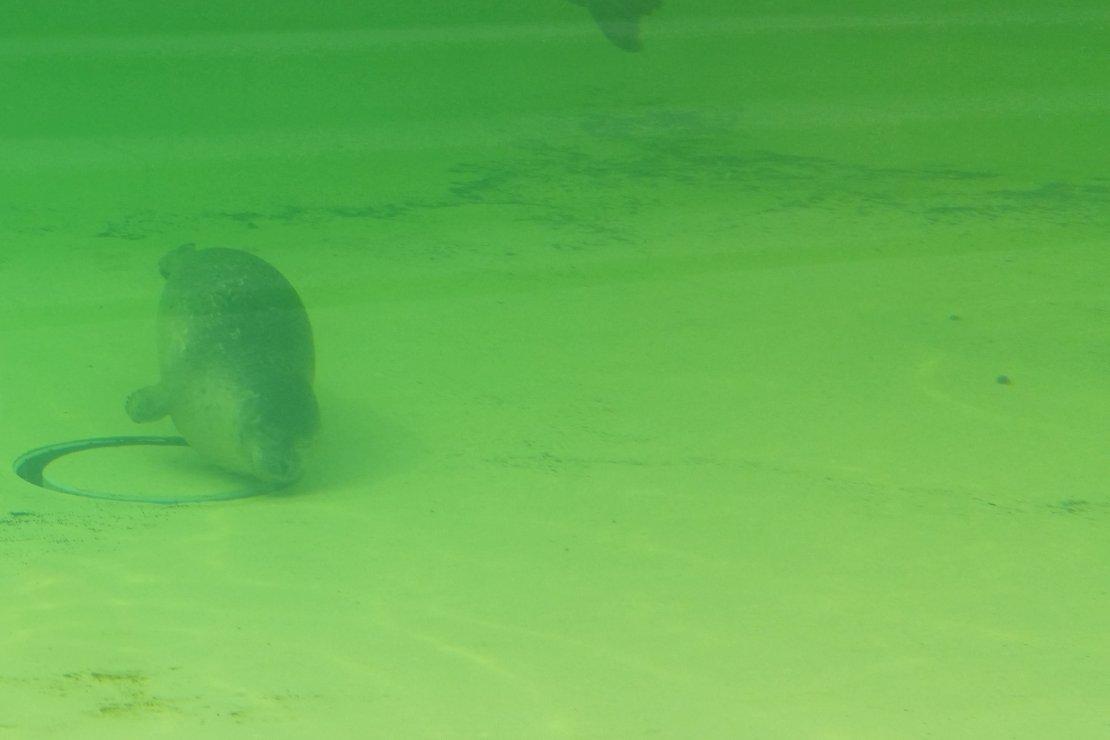 Ecomare op Texel bekommert zich om de zeehonde